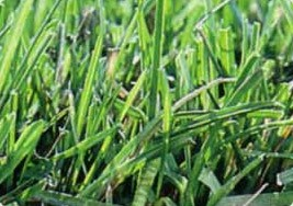 Kentucky Bluegrass (Poa pratensis)