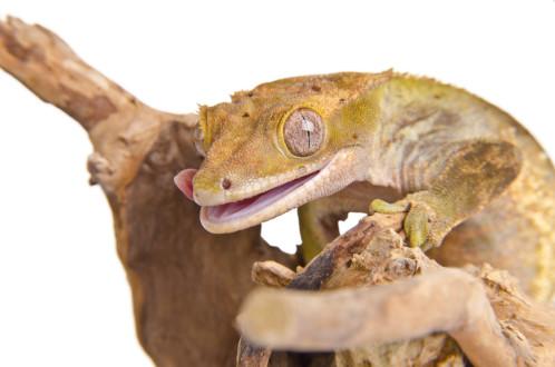 Lizard, a nice pet?